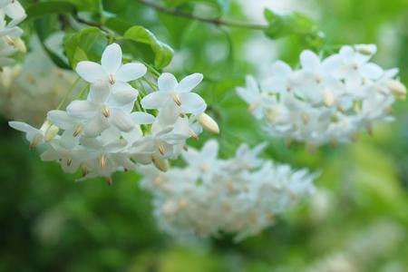 Wrightia religiosa The flower has a pleasant aroma of white flowers.
