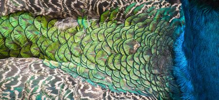 Beautiful colors and patterns of peacock feathers