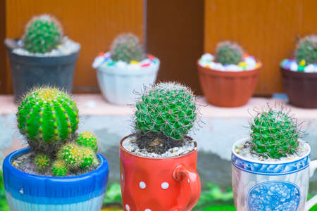 Cactus in a ceramic pot decorated in front of the house.