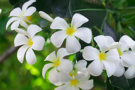 White Plumeria flowers in the garden