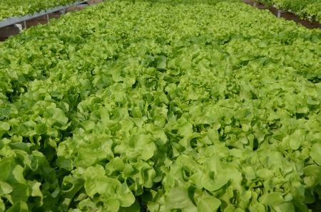 objected: organic  Green lettuce vegetables