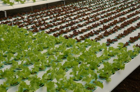 objected: Young Organic Lactuca sativa and green lettuce Stock Photo