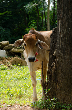 A brown young cow in the field photo