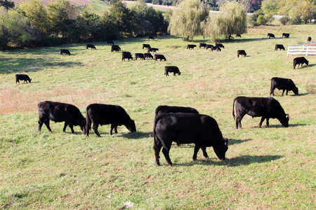 Black Angus beef cattle grazing in a pasture, Virginia, USA