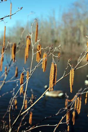 Hazel tree catkins with a blurred lake background, Virginia, USA