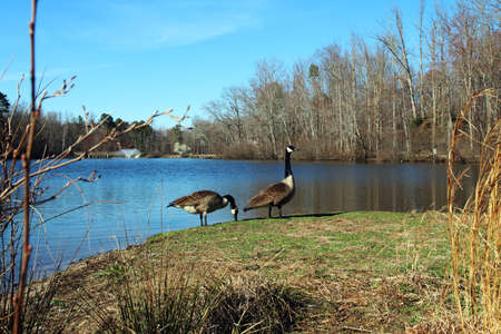 Two geese feeding by the lake. Typical goose behavior: one goose is watching while the other one is feeding
