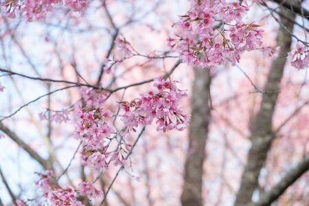 Wild Himalayan Cherry blossoms in Khunwang, Chiang Mai, Thailand.