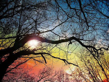 scintillating: Tree branches with scintillating sunset