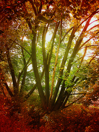 scintillating: Red autumn forest with scintillating sun
