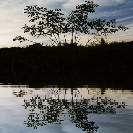 stumps: Silhouette of plant reflected in water on a background meadow with stumps Stock Photo