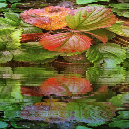 tuft: Natural background of strawberry leaves reflecting in water