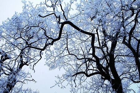 Frozen crowns of trees covered with snow. Blue and white winter frozen trees Фото со стока