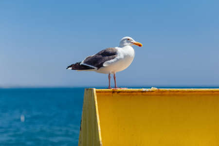 Californian seagull sits on a metal structure