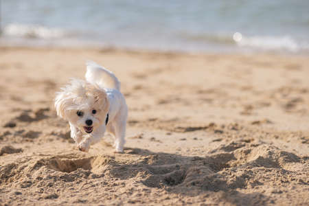 Happy white maltese dog playing with the sand on the beach, sunset and sea on background