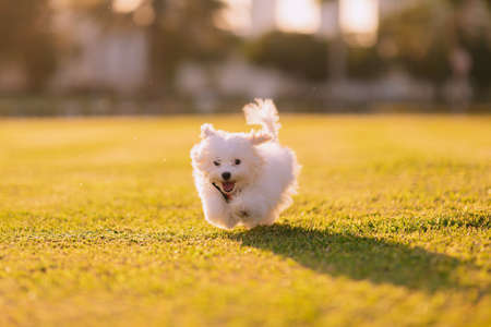 Happy white maltese dog running on the green grass, sunset and plants on background