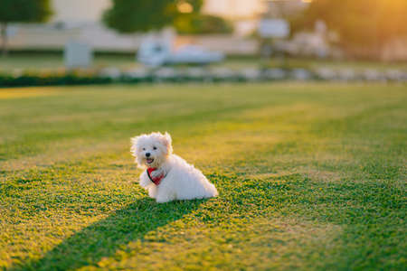 Maltese Dog Running, A cute white maltese dog sitting on the green grass and looking straight