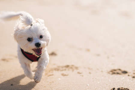 Happy white maltese dog running on the sand, space for text Stok Fotoğraf