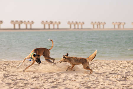 Wild coyote plays with the dog on the sandy beach
