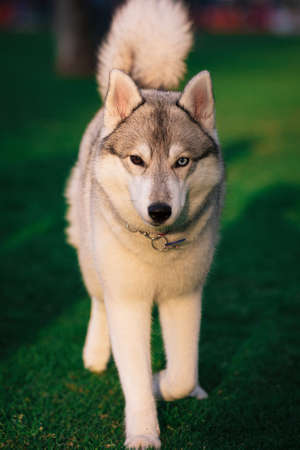 A grey and white Siberian Husky female walks forward in a field in a grass. She has brown eye and blue eye. There is a lot of greenery, grass around her. Sunny day.