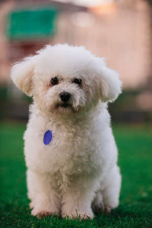 White poodle dog sits on the green grass and looks at the camera