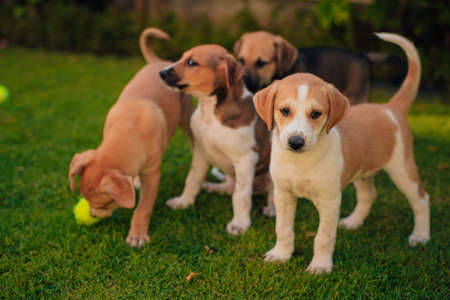 Group of puppies siblings playing with each other and tennis ball Stok Fotoğraf
