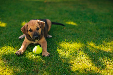 Small and beautiful puppy plays in the yard with the tennis ball and looks in the camera Stok Fotoğraf