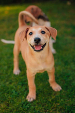 Happy, smiling, Small and beautiful puppy plays in the yard with her siblings and looks in the camera Stok Fotoğraf