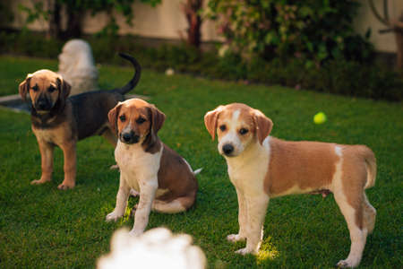 Group of puppies siblings playing with each other and tennis ball.