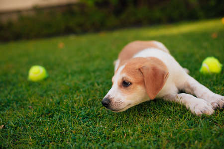 Small and beautiful puppy plays in the yard with the tennis balls and looks on the side