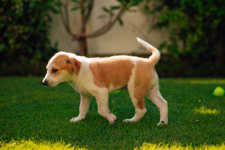 Small and beautiful puppy plays in the green yard with the tennis ball