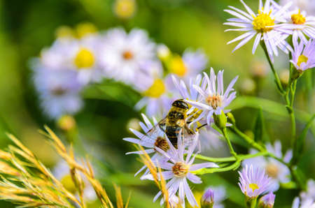 bee on flowerbee on a flower of wild asters photo