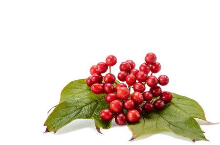 Red berries of Viburnum (arrow wood), isolated on white Standard-Bild