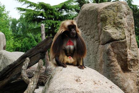 genitali: Ape con la pelle rossa, seduto sulla roccia