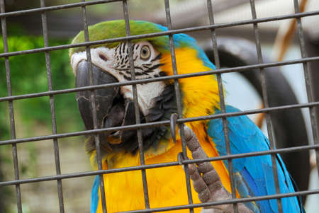 containment: Macaw parrot trapped behind the iron bars