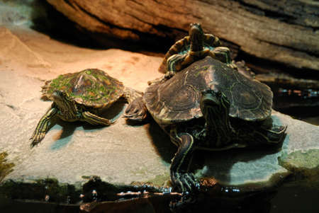 Turtle family with baby turtle photo