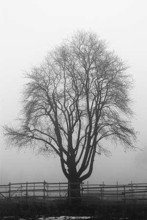 Creepy tree in the fog photo