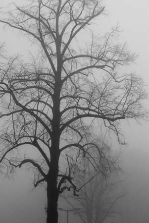 Bare tree in the fog photo