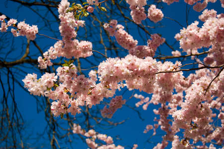 abundant: Beautiful flowers on a blooming tree in the spring