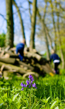 Bluebell and Log Pile