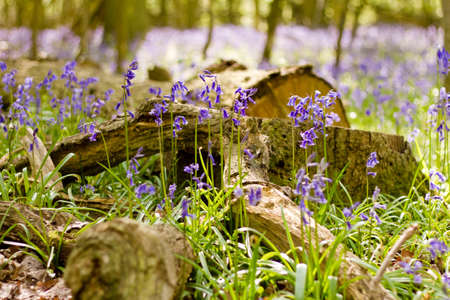 Bluebells and Stump
