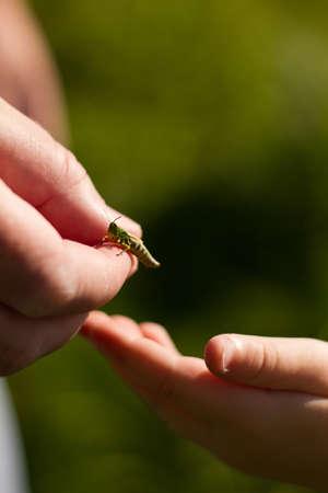 Meadow Grasshopper (Chorthippus parallelus) Stock Photo - 15623914