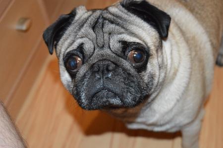 Cute pug - Rico