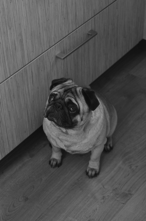 carlin: Black & White Pug photo Stock Photo