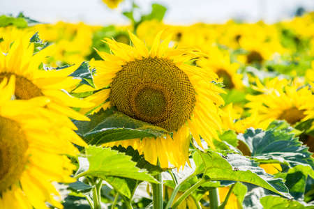 Fields of sunflowers with here and there Moro-sphinx butterflies. Stock fotó