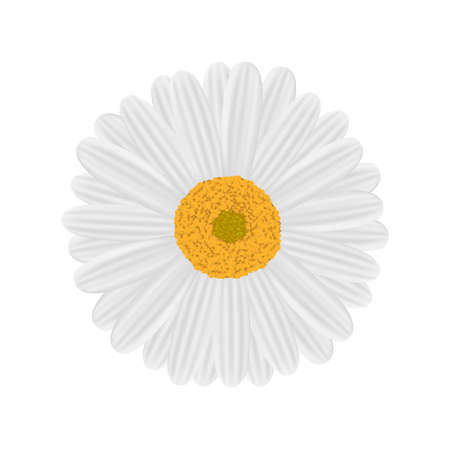 Chamomile vector illustration on white background.