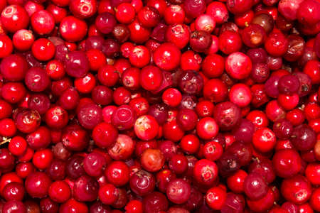 Cowberry berries.Background of cranberries. Stock Photo