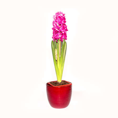 Young blooming pink hyacinth isolated on white background. A seedling of pink Hyacinth with the root Hyacinth oriental.