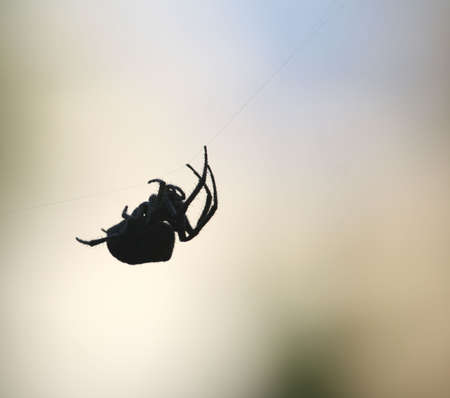 Black spider Stock Photo - 6320097