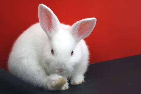 Coniglio bianco nano photo
