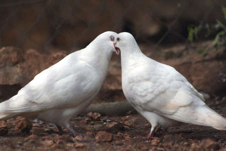 pigeons: Amour